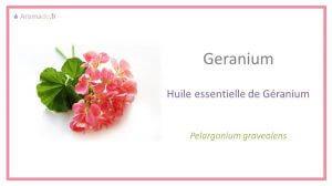 he geranium : huile essentielle de géranium